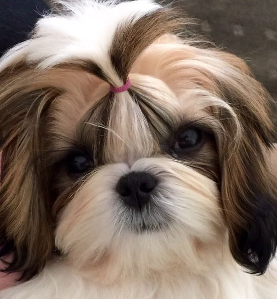The Problem With Breeding Brachycephalic Short Faced Dogs Shih