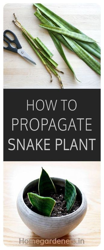 How To Propagate Snake Plant From Cuttings Snake Plant Snake Plant Propagation Snake Plant Care