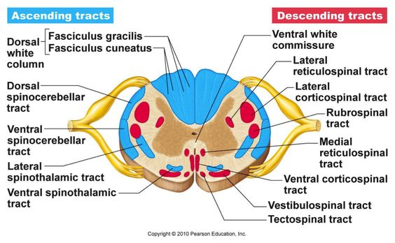 Dorsal Column-Medial Lemnisclal Pathway and Spinothalamic biology - spinothalamic tract