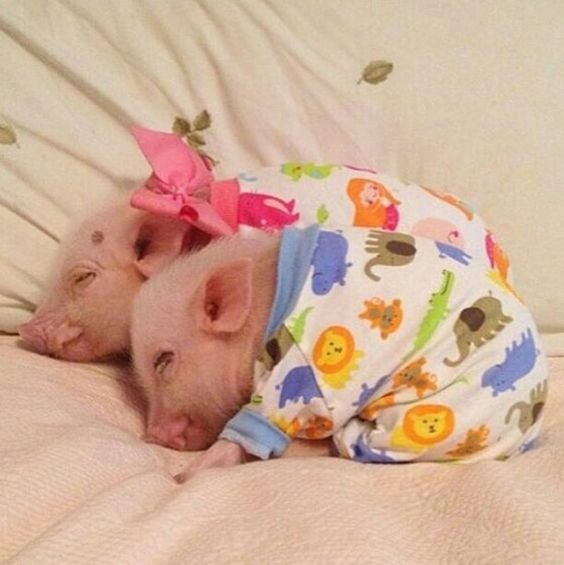 Porquinhos de pijama