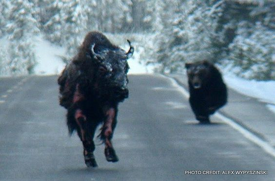Flashback: Grizzly Bear Chasing Bison in Yellowstone National Pa ...