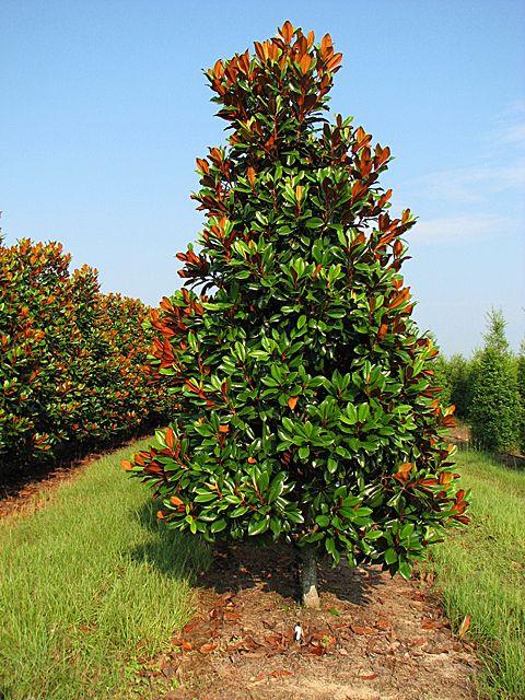 Dd blanchard magnolia magnolia grandiflora magnolia - Magnolia grandiflora ...