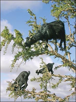 The tree climbing goats of Morocco . There aren't any worm larvae up there in the branches so there is a big advantage in eating this way.