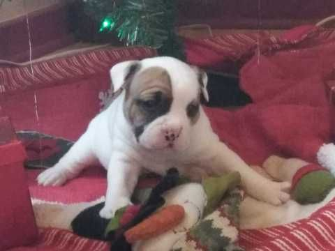 Olde English Bulldogge Puppy For Sale In Rochester Ny Adn 61541