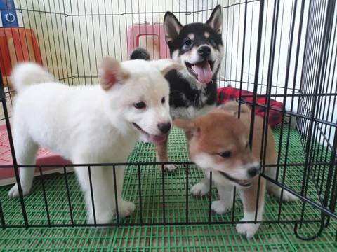 Shiba Inu Puppy For Sale In Los Angeles Ca Usa Adn 100055 On