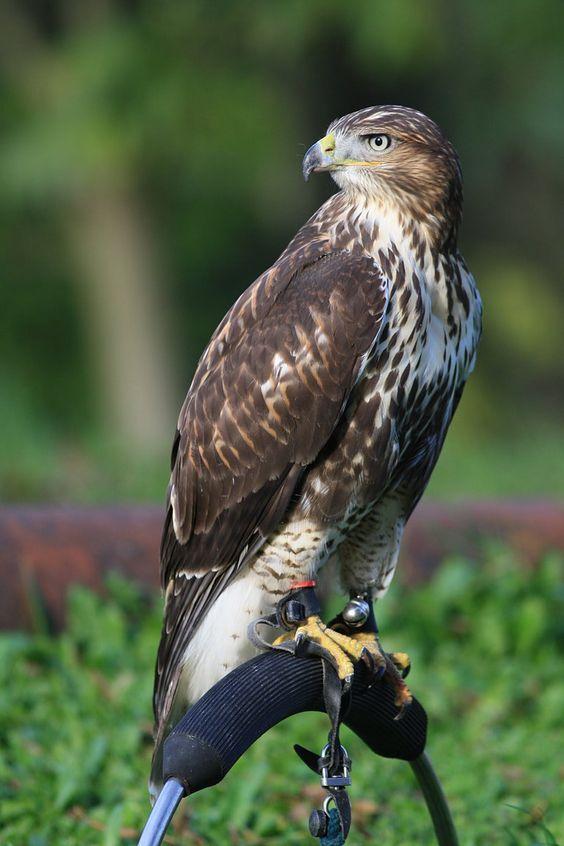 Czech-Falconry-Birds-Hunting-Bohemian-Photo-12