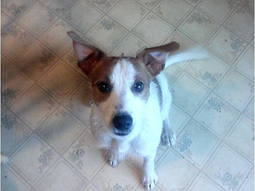 Jack Russell Male 10 Months Old Redding Ca Pets For Sale