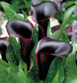 * Purple Calla Lilies--Zone 7-10. Annual. Dog Toxic! Blooms June-Jul/ 16in High & 16in Spacing & 3in Deep (plant after the last frost)/Full Sun-Partial Shade/Best 70F/Moist well-drained soil/Love ponds/ Love feeding of organic matter/Great cut flowers/DO prune yellow leaves/Heat stress can reduce flowering/NOT winter hardy/(Winterizing--dig up after first frost, dry bulbs for a day & store away from drafts in a paper bag or box filled with dry peat moss (40-50F);or plant indoors away from…