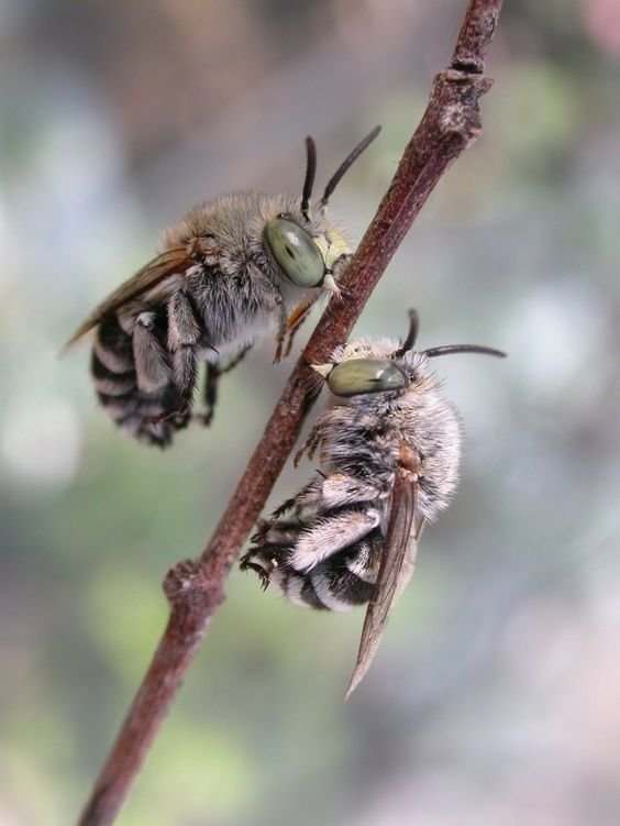Blue-banded bees (Amegilla murrayensis) these native bees make a substantial contribution to the pollination of crops in Australia and can be seen in Adelaide gardens. Photo courtesy of Remko Leijs