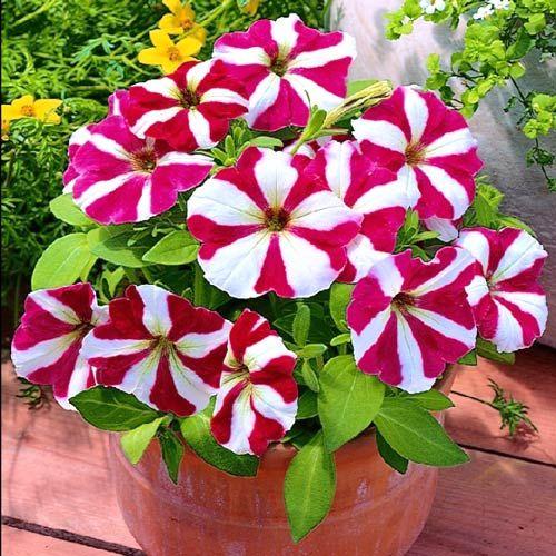 Kwiaty I Truskawki Wiszace Do Twojego Ogrodu A Takze Na Balkony I Tarasy Wielu Milosnikow Ogrodnictwa N Flowers Perennials Petunia Flower Petunia Plant
