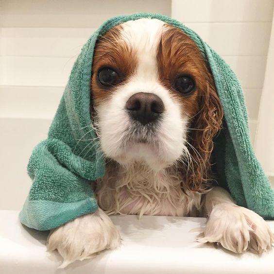 Giving Your Cavalier A Bath King Charles Cavalier Spaniel Puppy