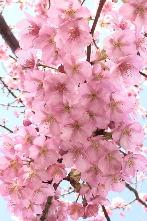 Pin By Andy Cote On Cherry Blossoms Blossom Trees Flower Beauty Cherry Blossom