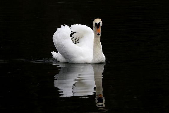 Swan Reflection by Andi Hardman, via Flickr