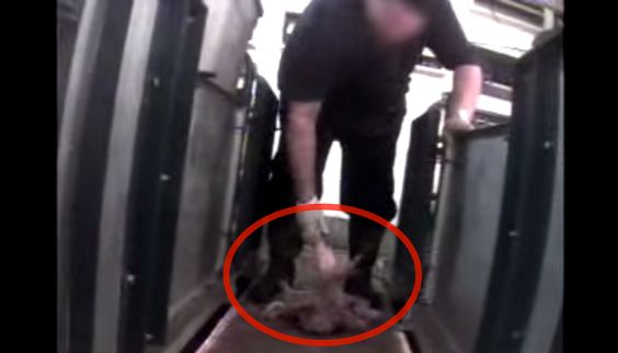 PETA investigation revealed workers SMASHING piglets on a floor: http://bit.ly/10ePhGK    RT if u know this is WRONG!