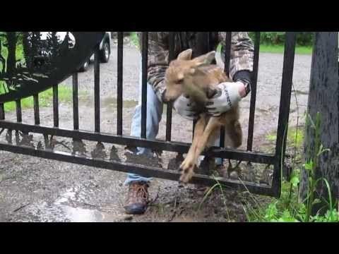 Awwww! ▶ Fawn Rescue.mp4 - YouTube