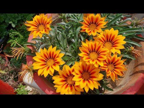 How To Collect Seeds Of Gazania Plant For Next Season Fun Gardening Youtube In 2020 Amazing Gardens Plants Seasonal Fun
