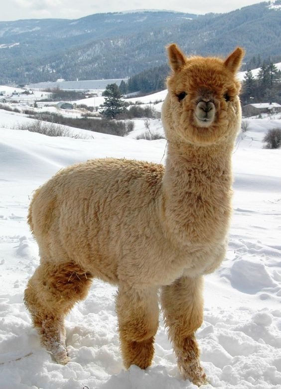 Alpaca-Look how happy she is in the snow!