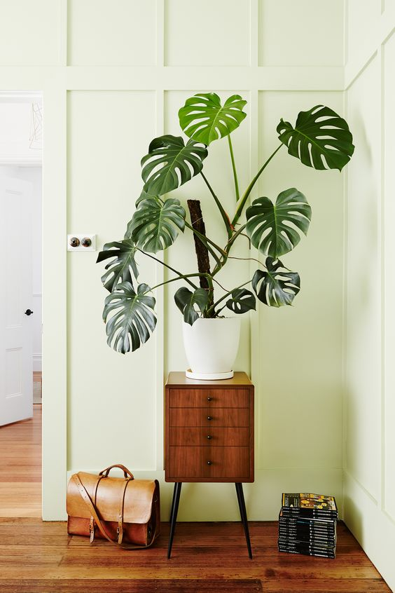"**Swiss cheese plant** *(Monstera deliciosa)* <br><br>  Don't be fooled by this little guy, [Monstera deliciosa](https://www.homestolove.com.au/monstera-deliciosa-care-tips-6683|target=""_blank"") like to climb and can reach great heights. They prefer indirect light, warmth and moisture. Consider [cleaning its leaves](https://www.homestolove.com.au/cleaning-indoor-plants-6749