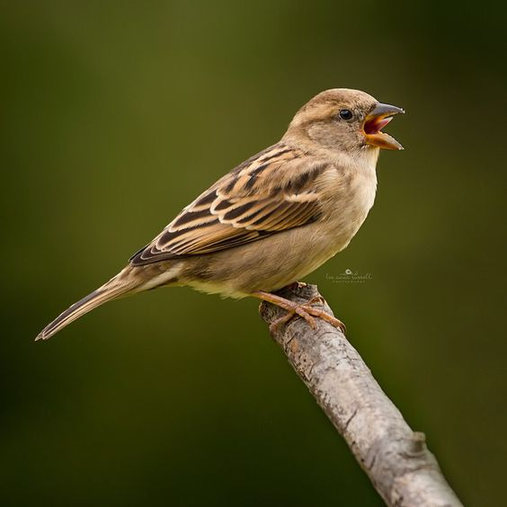 Meet Miley Cyrus of the bird world. I don't know what it is about bird tongues but I think they are nasty!!! Female House Sparrow