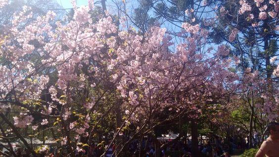 Festa das Cerejeiras