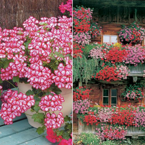 Cascading geraniums ivy geraniums add to pots it 39 s a garden thing pinterest back deck - Care geraniums flourishing balcony porch ...