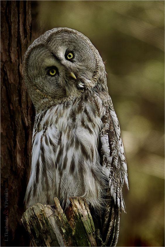 Big gray owl III by Lilia73.deviantart.com on @deviantART