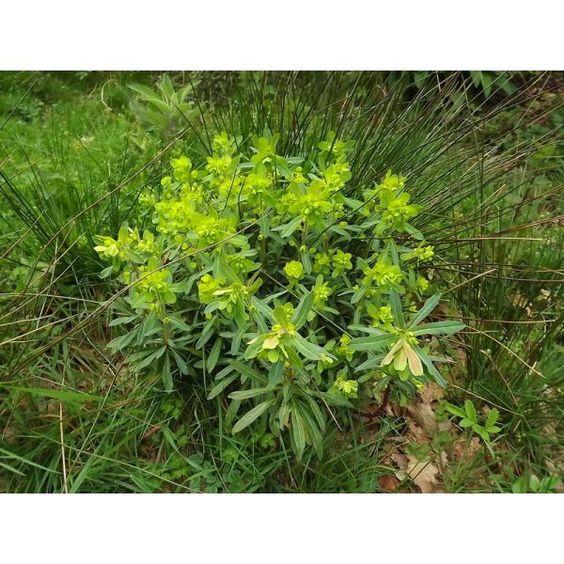 euphorbia-amygdaloides-euphorbe-a-feuilles-d-amandier