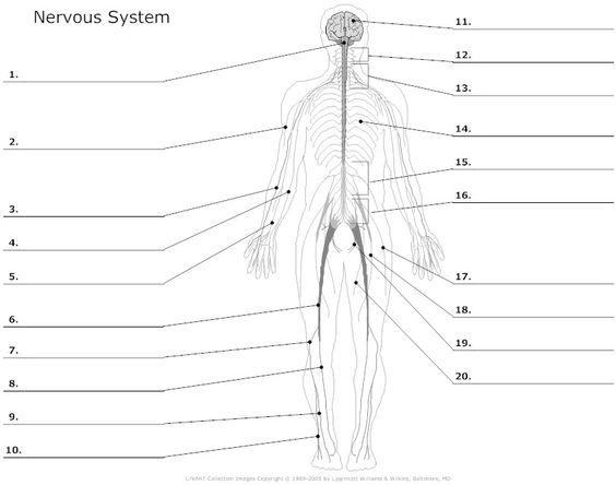 Worksheets Nervous System Worksheet muscular system worksheets nervous unlabeled school for unlabeled