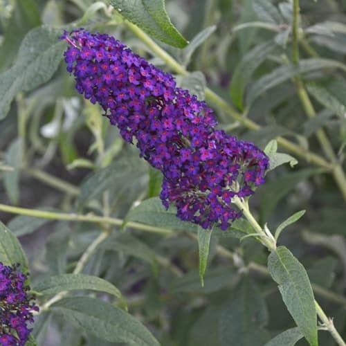 Monarch Dark Dynasty Buddleia Garden Crossings Garden Shrubs Butterfly Bush Flowering Shrubs