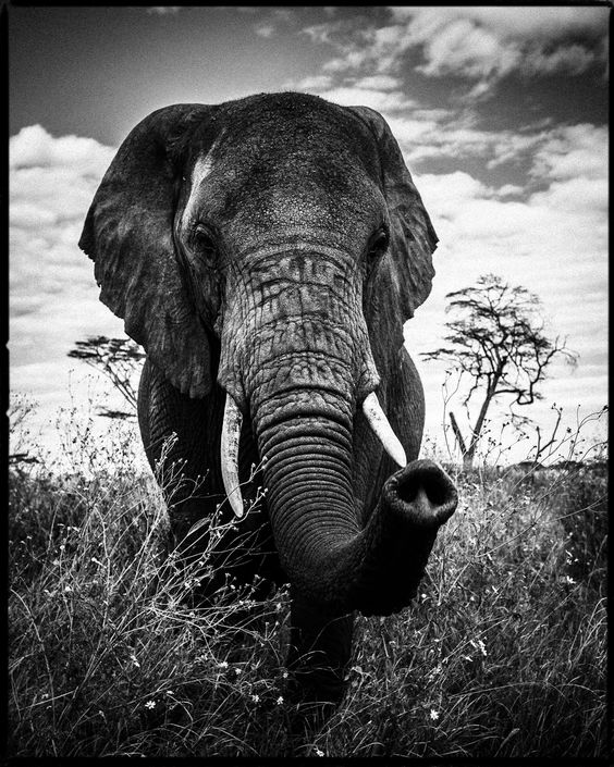 Laurent Baheux.ELEPHANT CURIEUX