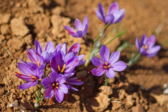 Flor de Azafrán.