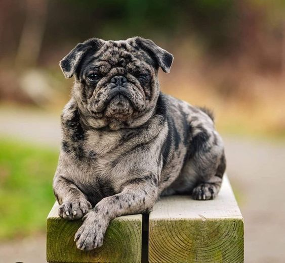 Are Brindlepugs Real Pugs Or A Mixed Breed Doesn T The