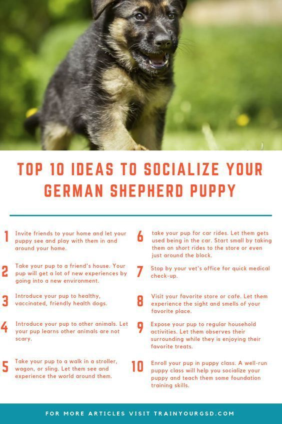 How To Socialize A German Shepherd Puppy Best Shepherd Puppies