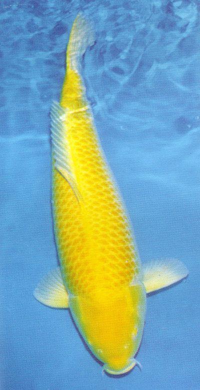 Koi Yellow And A Beautiful On Pinterest