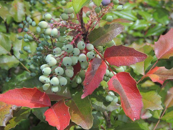 Frutos de Mahonia aquifolium. http://www.elhogarnatural.com/fichas%20A/AZ%20fichas/FichasdesdeAbeliaaAztekium.htm