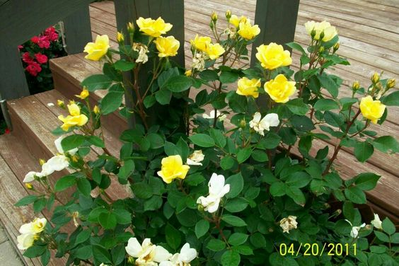 Roses In Garden: Yellow Knockout Roses, Easy Care Roses.