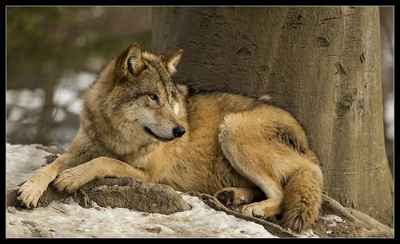 Wolf by Werner Schmid on 500px
