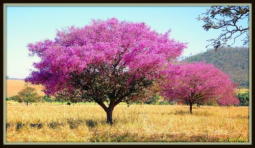 Ipê Roxo ( Purple Ipê )