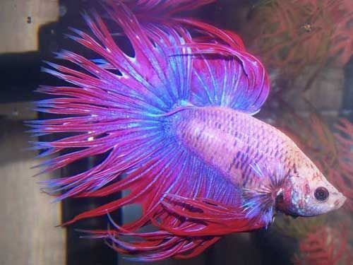 Most beautiful betta fish in the world google search for Female betta fish names