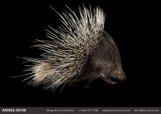 The Indian crested porcupine (Hystrix indica) is covered with layers of quills as long as 1/3 its body length. When attacked, it raises its quills and rattles the hollow quills on its tail and then launches a backwards assault, hoping to stab its attacker. It does this so effectively that most brushes between predators and the Indian porcupine end in death or severe injury. via http://en.wikipedia.org/wiki/Indian_Crested_Porcupine  Photo by joelsartore #Indian_Porcupine #joelsartore…