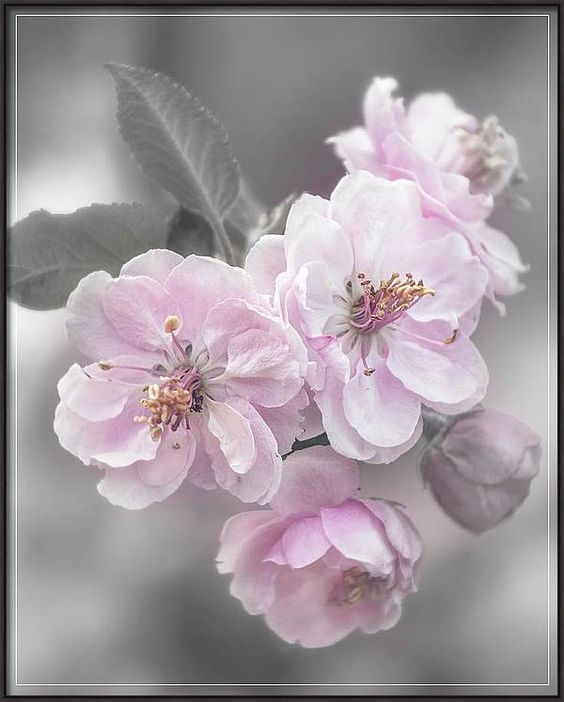 Cherry Blossom Cluster Selective Color Canvas Print Canvas Art By Teresa Wilson Floral Photography Cherry Blossom Blossoms Art