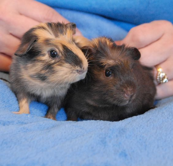 Clover & Calla are baby sisters with tender spirits and they debut for adoption today at Nevada SPCA (www.nevadaspca.org). The girls are Crested guinea pig mixes with tortoiseshell and chocolate coloring, almost 2 months of age. Clover & Calla are well-adjusted and enjoy people, thanks to wonderful loving care in a foster home. (We rescued their pregnant mother, who has since been adopted.) Clover & Call need to be adopted together for lifelong companionship.