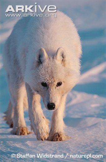 nunavut's truly wild arctic char