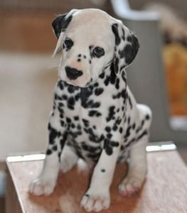 http://e-dogsite.com | An Angel Dalmatian puppy