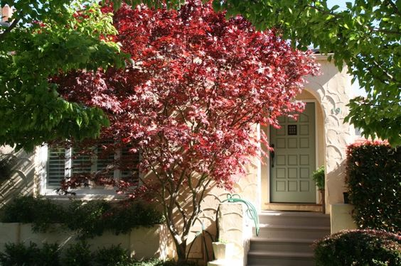 Love the Japanese Maple in front of this charming Spanish style home in Broadmoor Park, San Anselmo, Marin County, CA