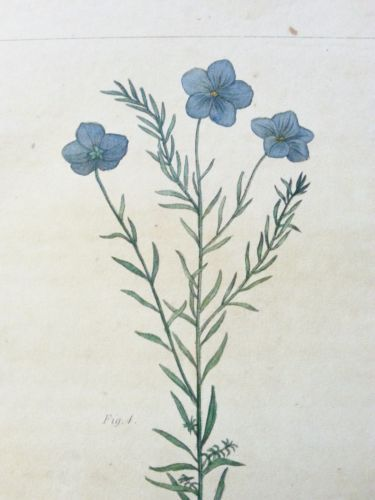 1821 hand colored engraving of Linum lewisii. Botanical, plants, flowers