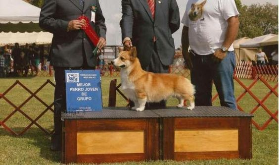Welsh Corgi Pembroke  Cachorros bicolores y tricolores padres con registro inter ..  http://leon.evisos.com.mx/welsh-corgi-pembroke-15-id-563725