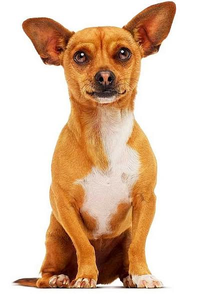beverly chihuahua beverly hills and chihuahuas on pinterest 2886