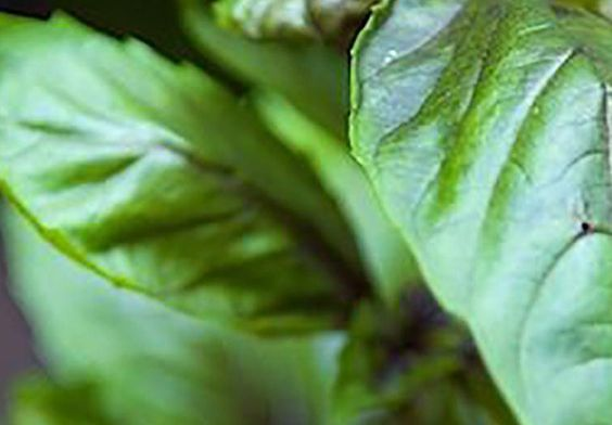 Homesteading Guide To Growing Basil Indoors