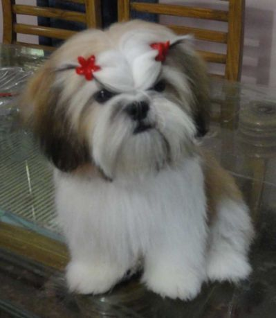 Maltese Shih Tzu Grooming Styles Shihtzu Shih Tzu Puppy Shih Tzu Shih Tzu Haircuts